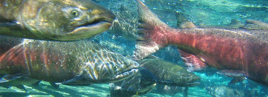 SalmonHeader.jpg