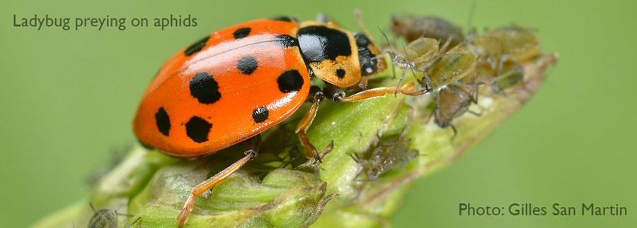 Ladybug preying on aphids