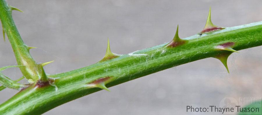 Closeup of Himalayan blackberry thorns
