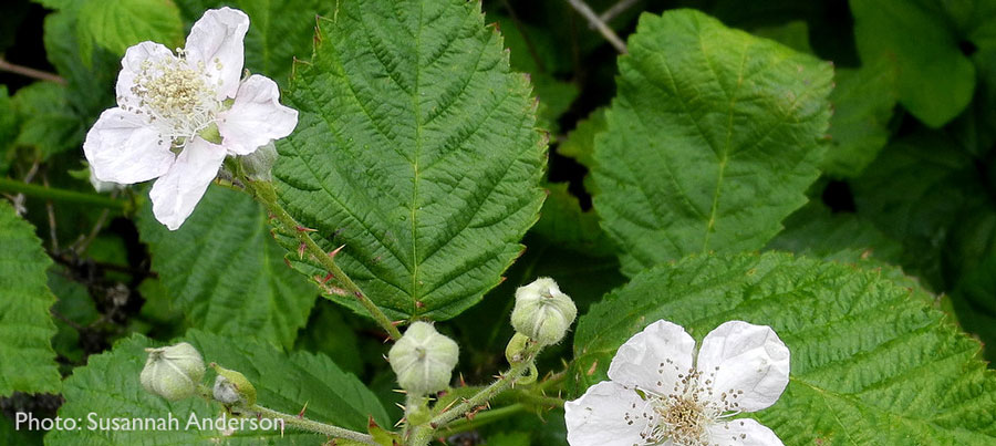 Closeup of white Himalayan blackberry flowers, with serrated leaf edges