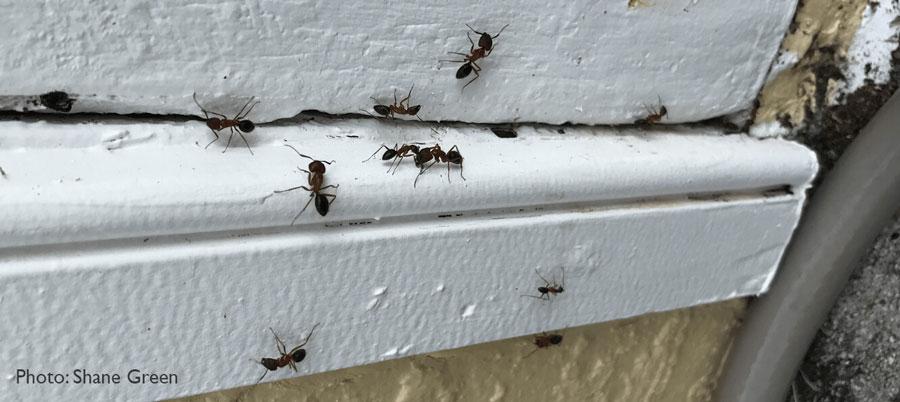 Carpenter ants on windowsill