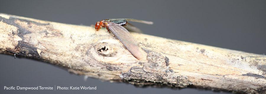 Pacific dampwood termite