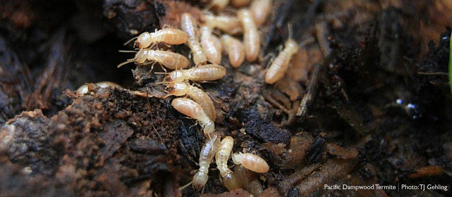 Pacific dampwood termites
