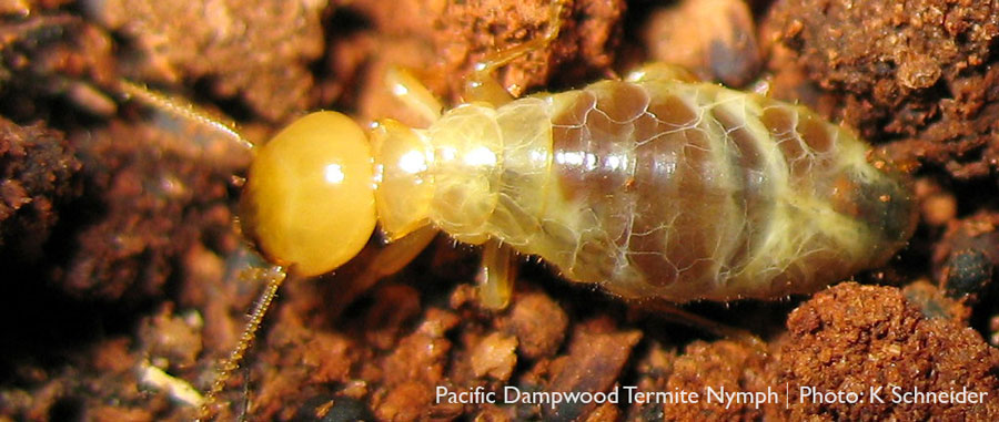 Pacific dampwood termite nymph