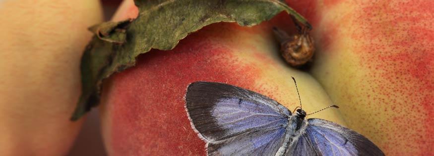 ButterflyPeachHeader.jpg