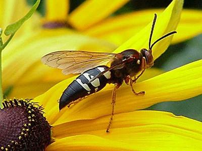 cicadekillerwasp.jpg
