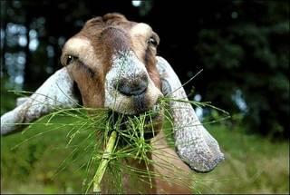 Goat_PAN_BC.jpg