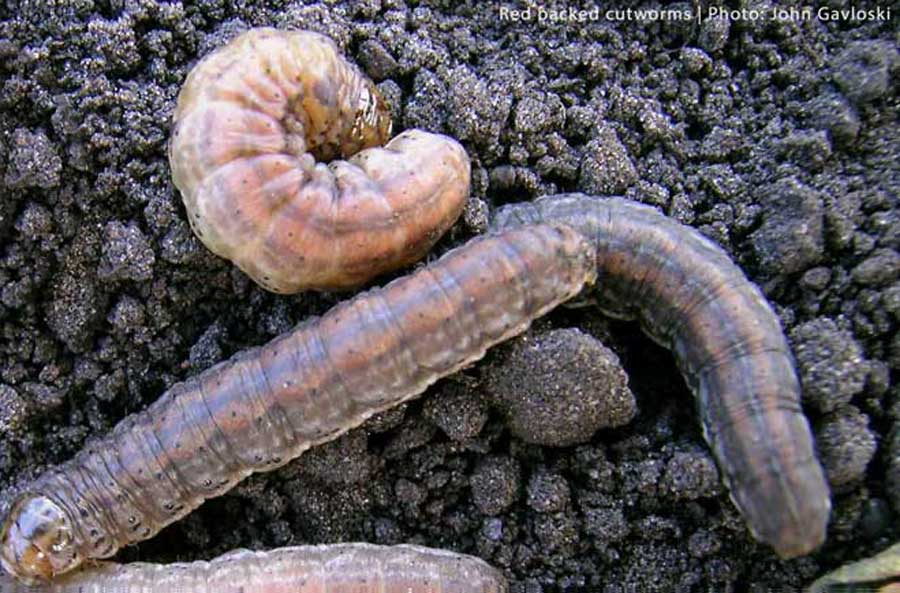 Red backed cutworms