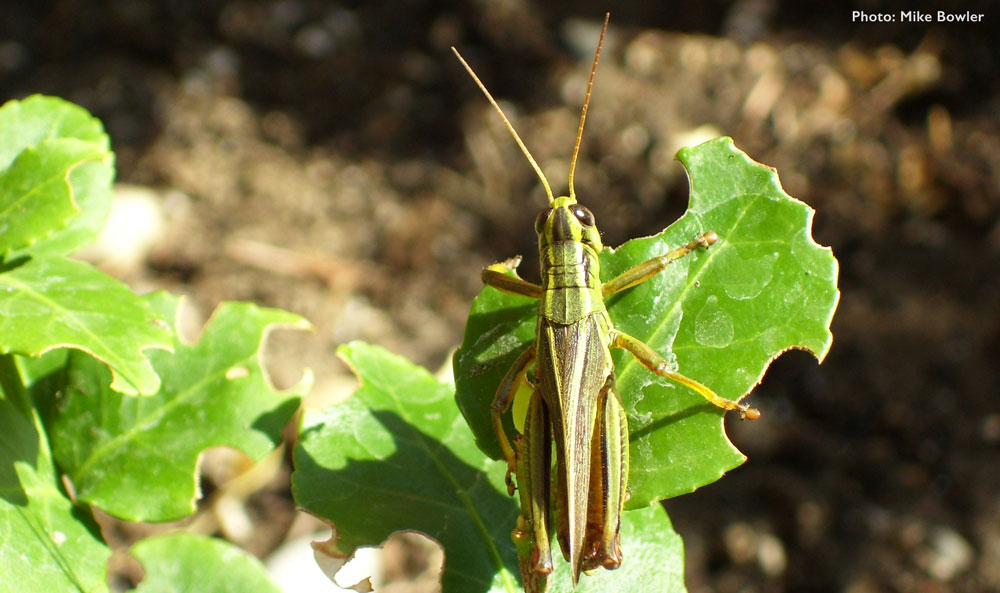 Closeup of grasshopper on a plant, with leaves chewed