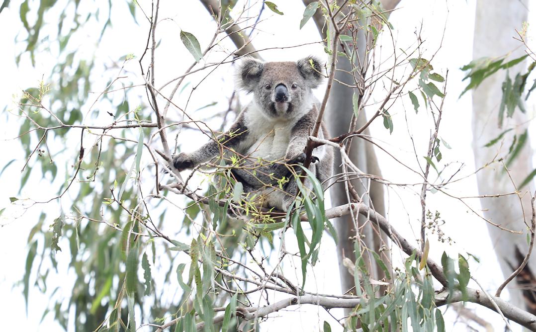 Koala's under threat from LLS Amendment Bill 2020