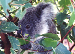 koala_shazz101.jpg