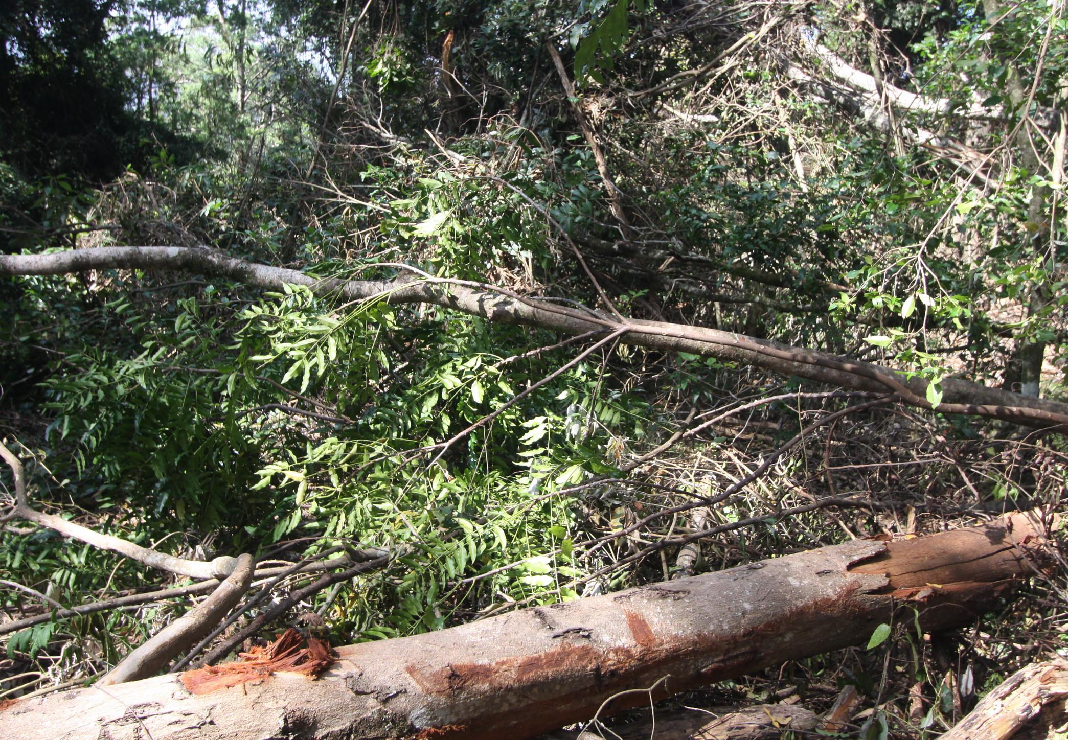Onion Cedar debris