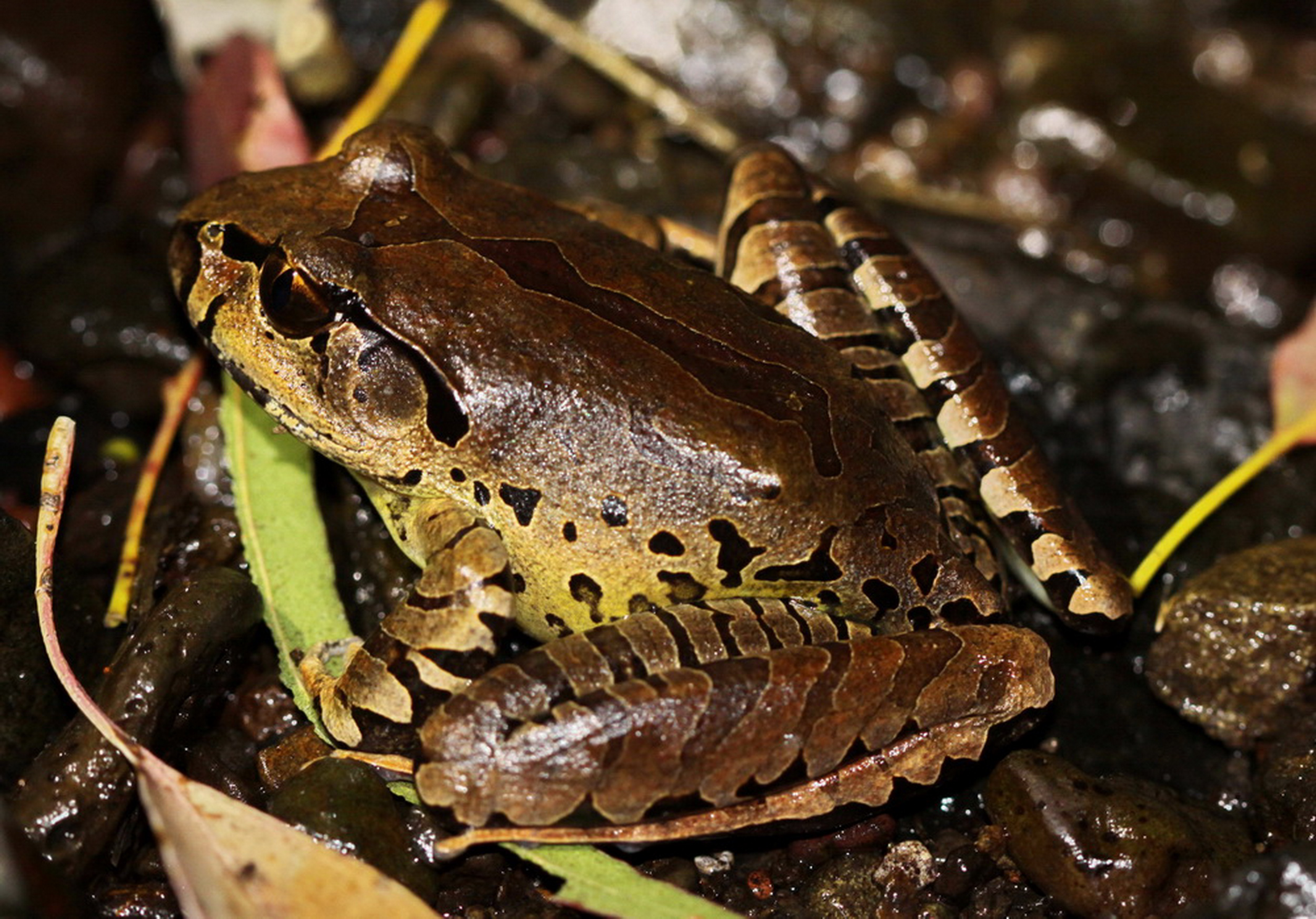 Fleayes Barred Frog