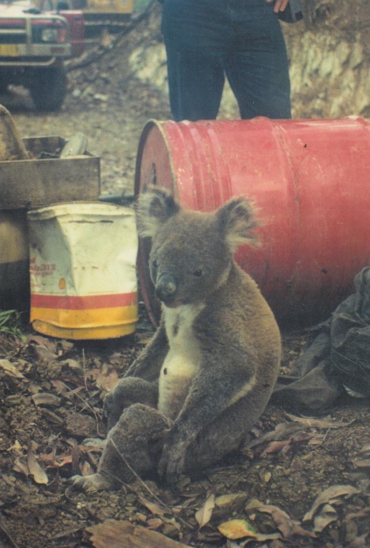 Koala_in_Log_Dump.jpg