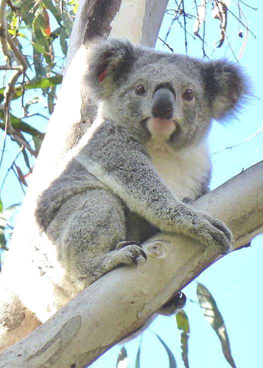 koala_young_tree.png