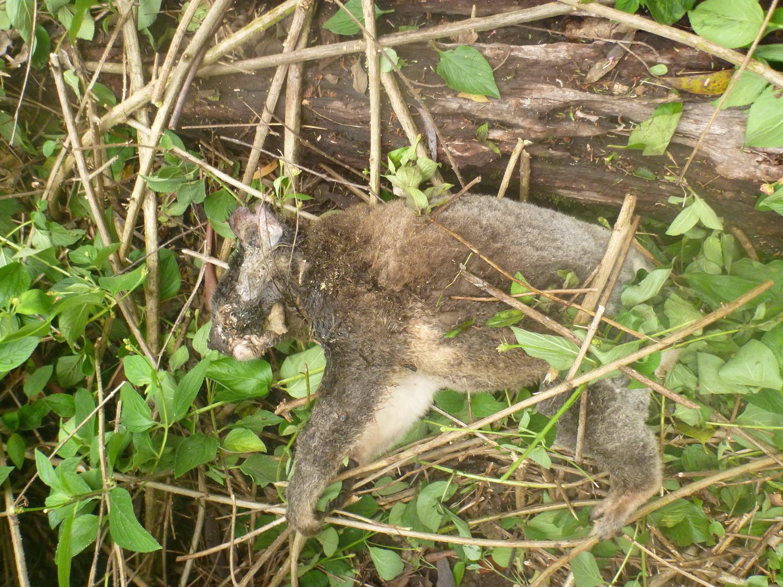 dead koala