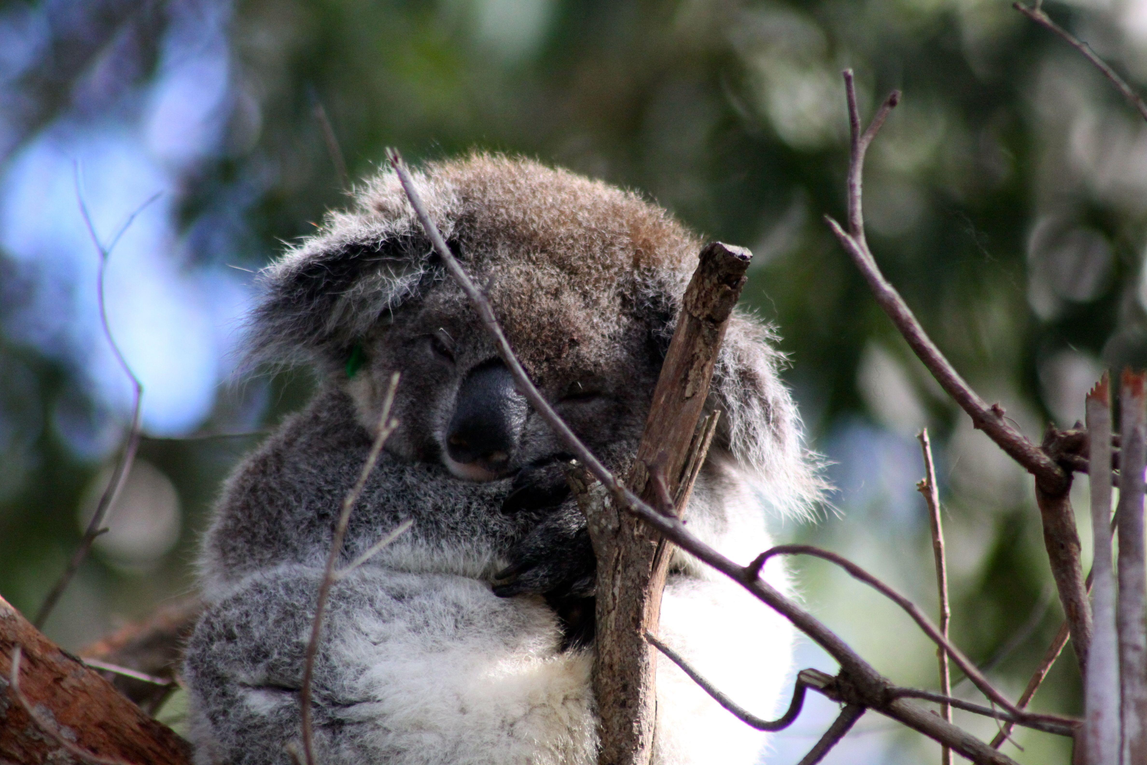 sad koala