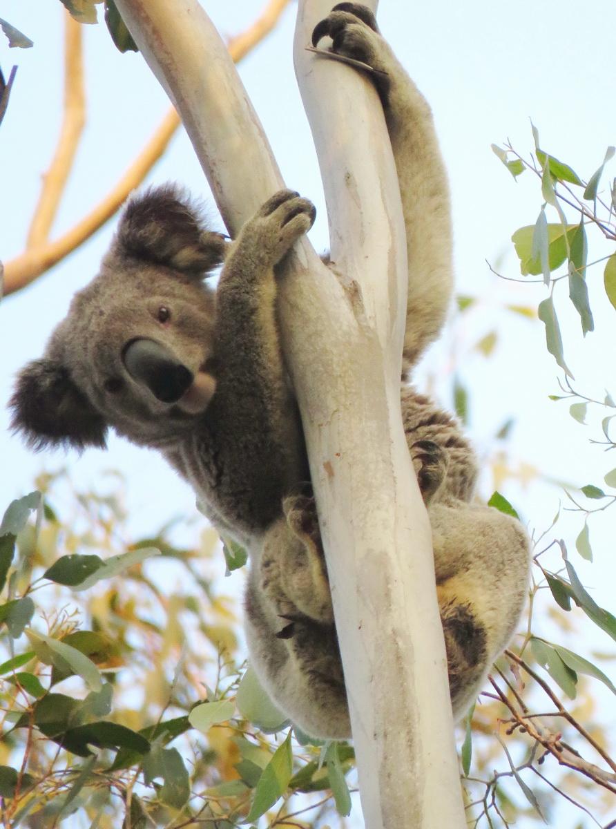 Braemar Koala