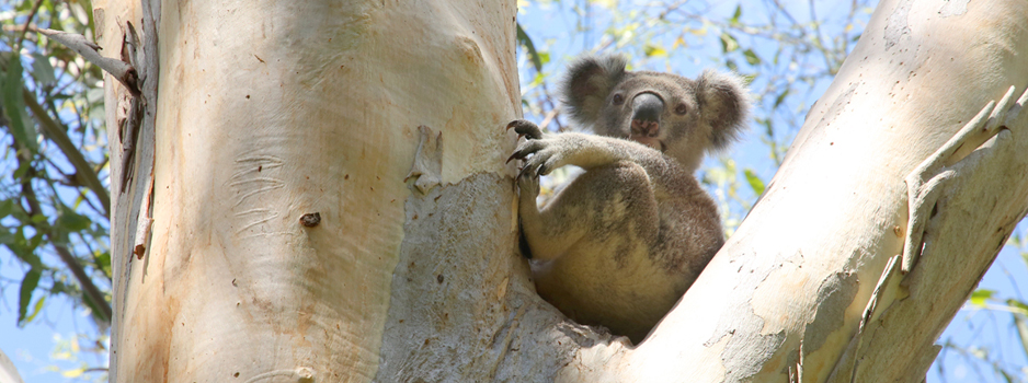 NEFA_Koala_Sandy_Creek_National_Park_0R3C8086.jpg