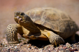 photo: desert tortoise (c) Chris Hensley