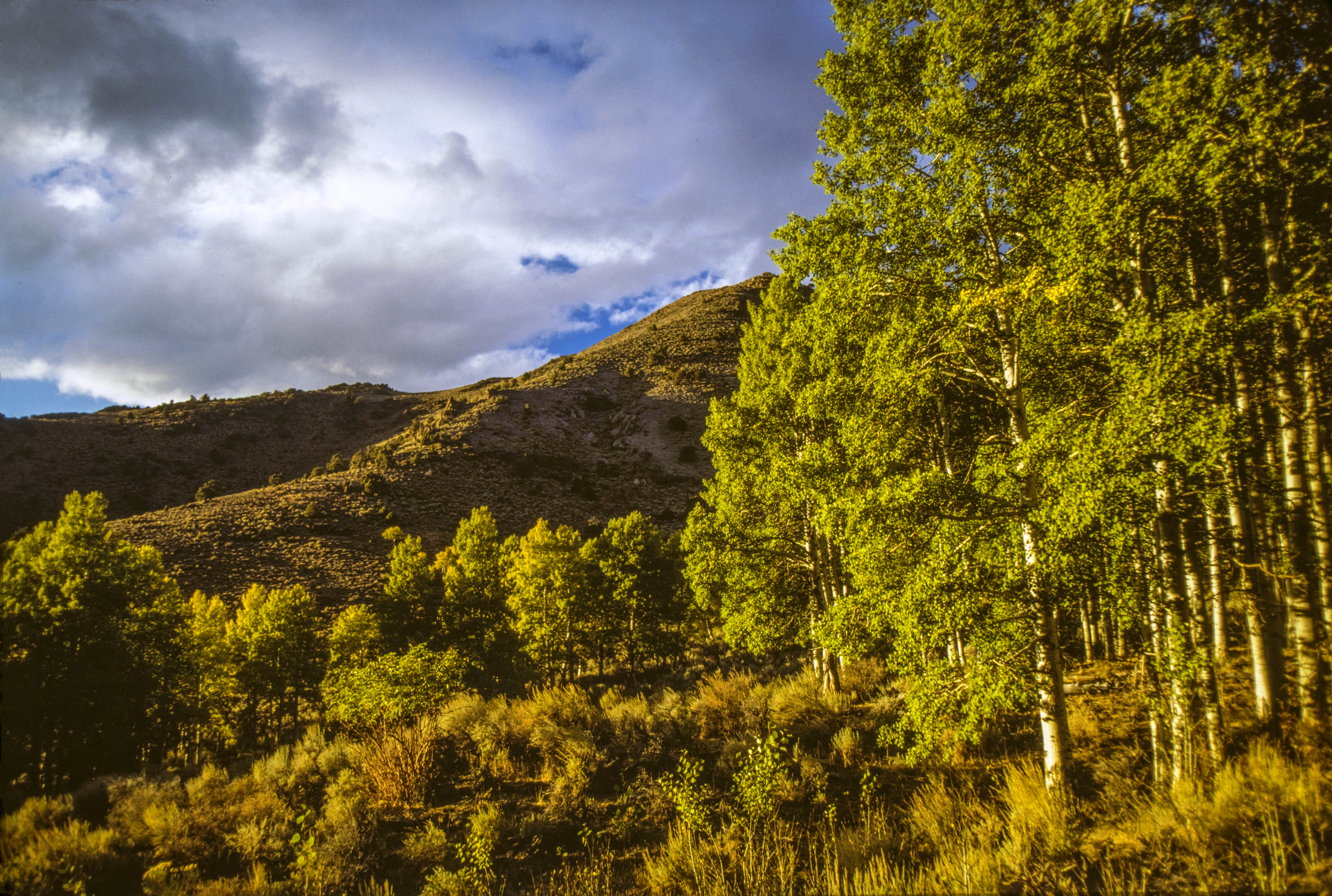 Green trees in the Desatoya Mountains Wilderness Study Area.
