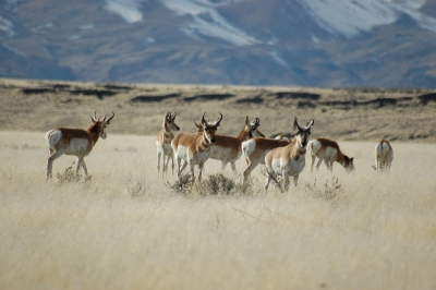 photo_sheldon_antelope2_jgranata_400.jpg