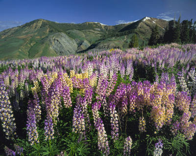 photo_jarbidge_lupines1_ssmith_400.jpg