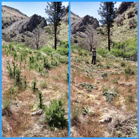 06-08-2013_mt_rose_weed2_DM_01.jpg