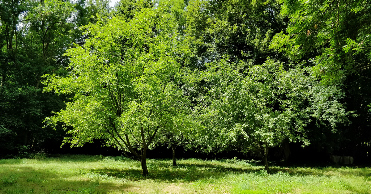 Dieback threat to Hucclecote's trees