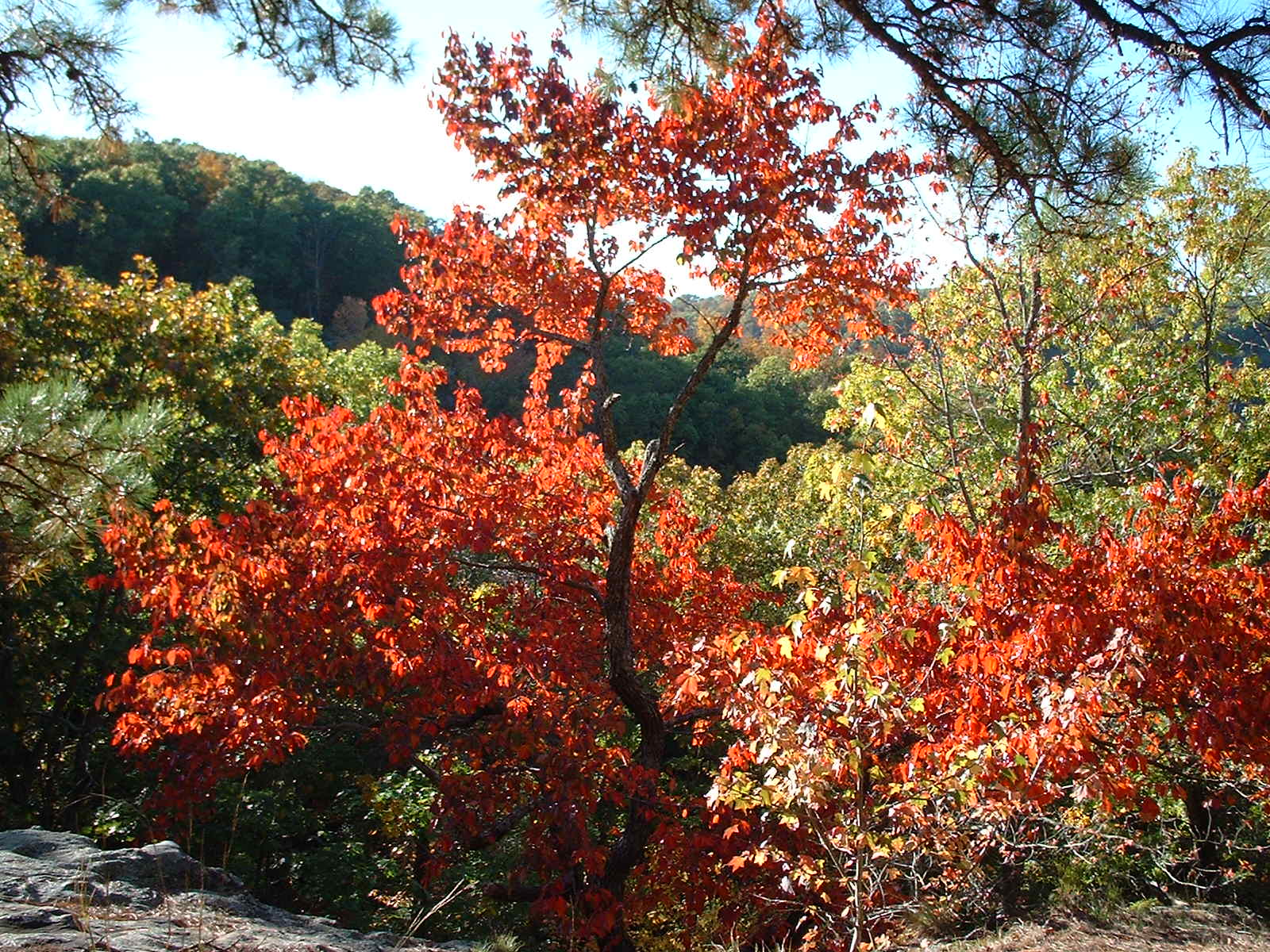 Fall Tree in the Ozarks
