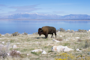 Antelope-Island_Great-Salt-Lake-Park_ThinkStock-300x200.jpg