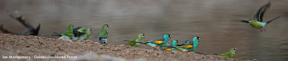 golden_shouldered_parrot_97714-940.jpg