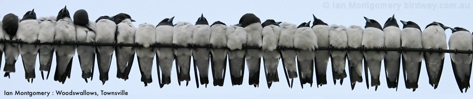 white_breasted_woodswallow_07183e940.jpg