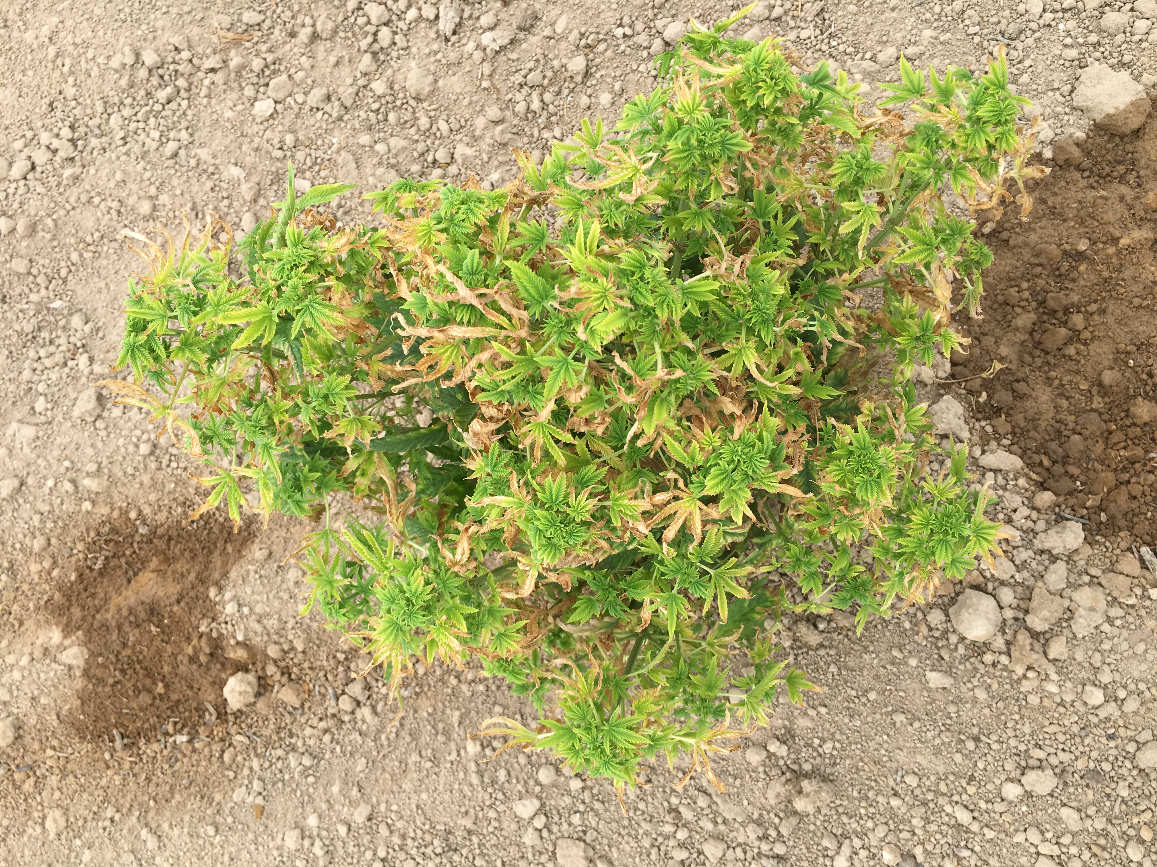 A diseased hemp plant that is much smaller than the healthy plant and has severe yellowing and clustered