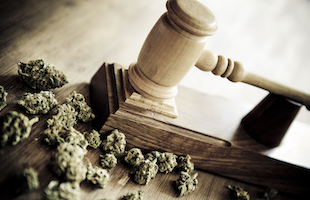 close up of cannabis buds and a judge's gavel