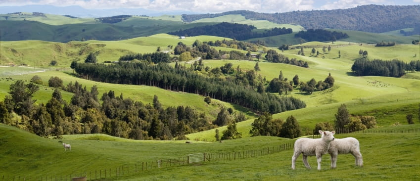 Sheep on Waikato farm