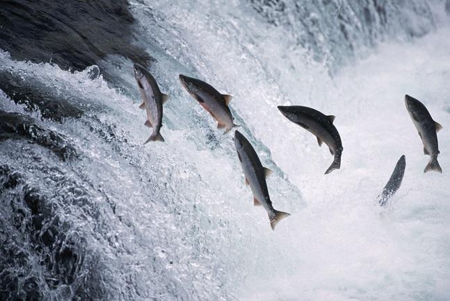 salmon-jumping_sm.jpg