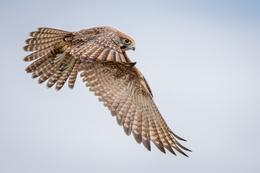 Brown Falcon, Lochern National Park by Angus Emmott