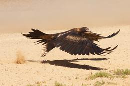 Wedge Tailed Eagle, Between Birdsville and Windorah by Robert Fagan