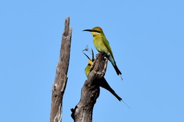 Rainbow Bee-eaters, Doomadgee by Roslyn Tolcher