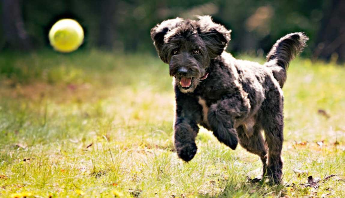 Small non-shedding dog runs after bouncing ball