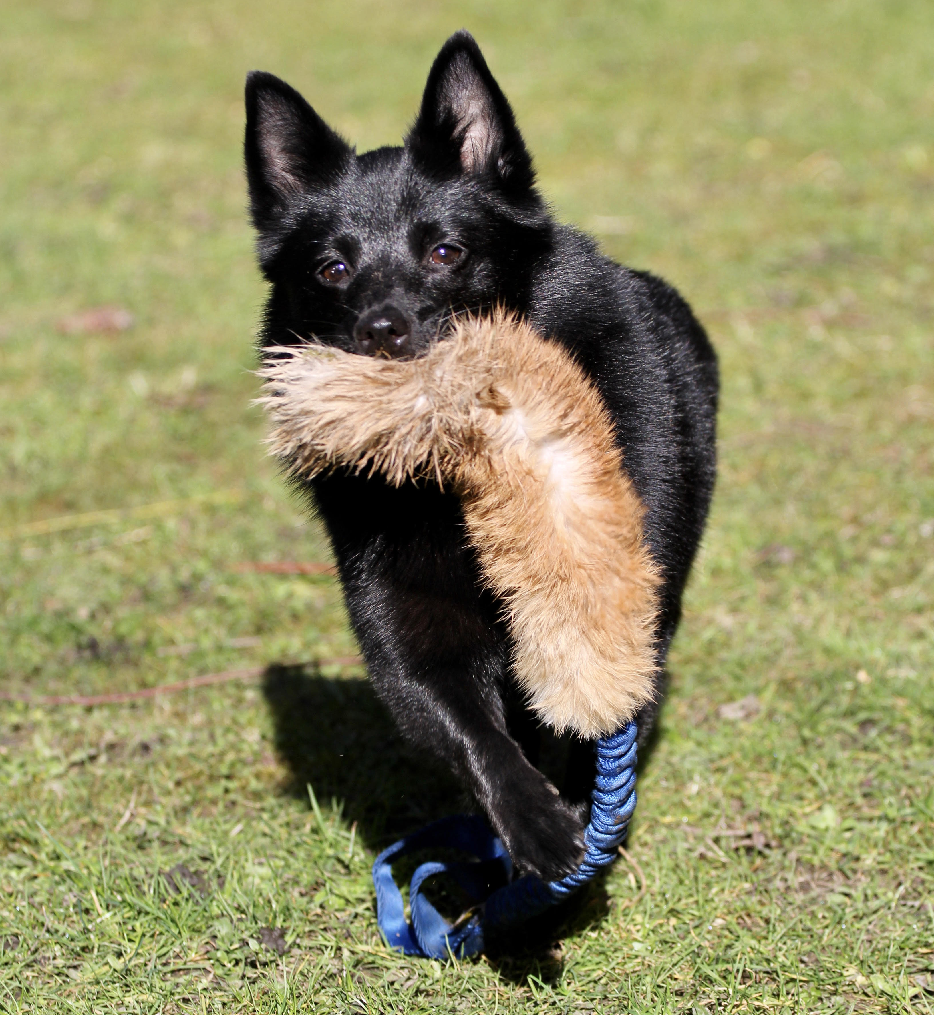 Schipperke trotting towards camera with a faux fur tug toy hanging from her mouth
