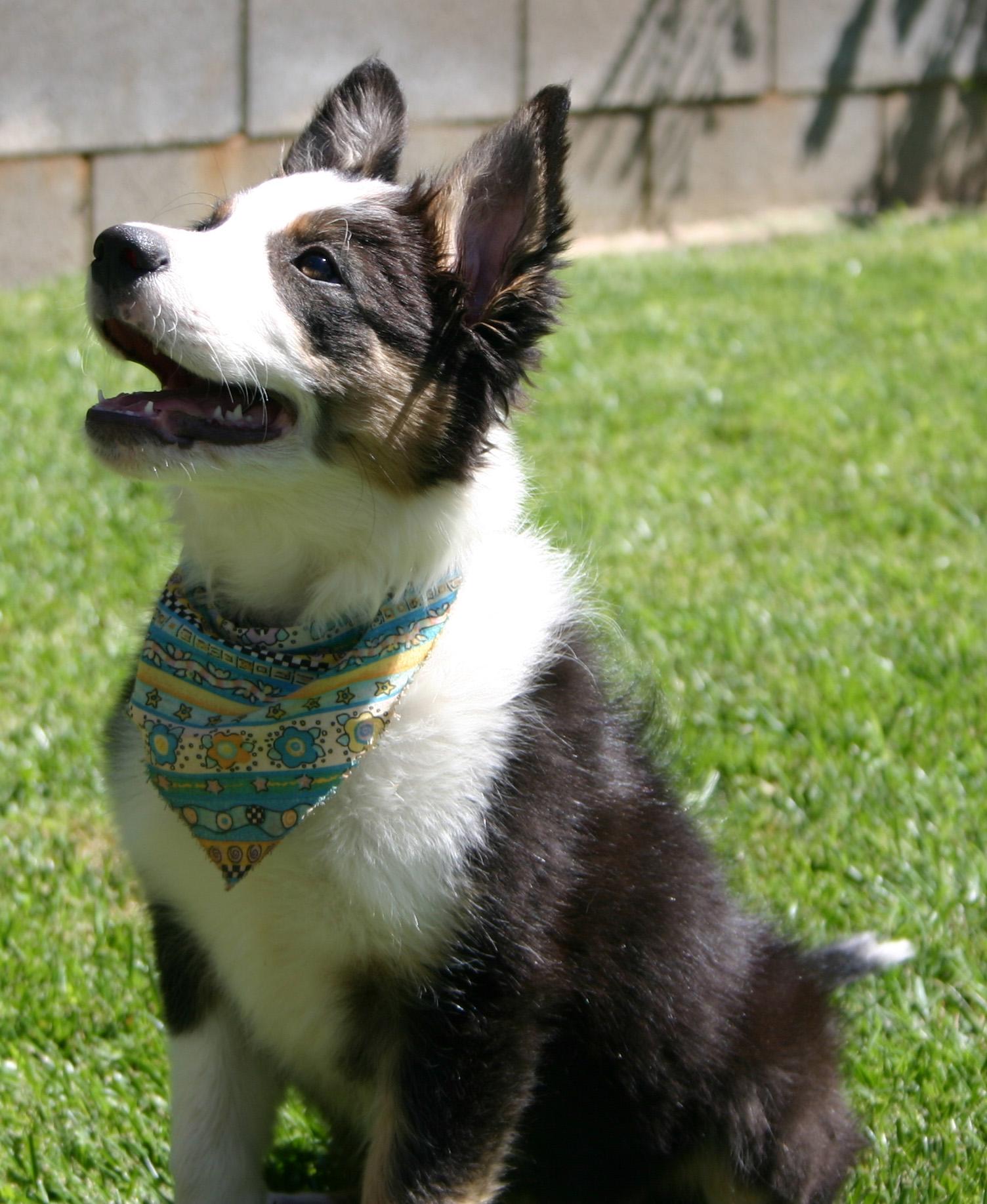 Australian Shepherd cross, mouth open, looking longingly up at her handler