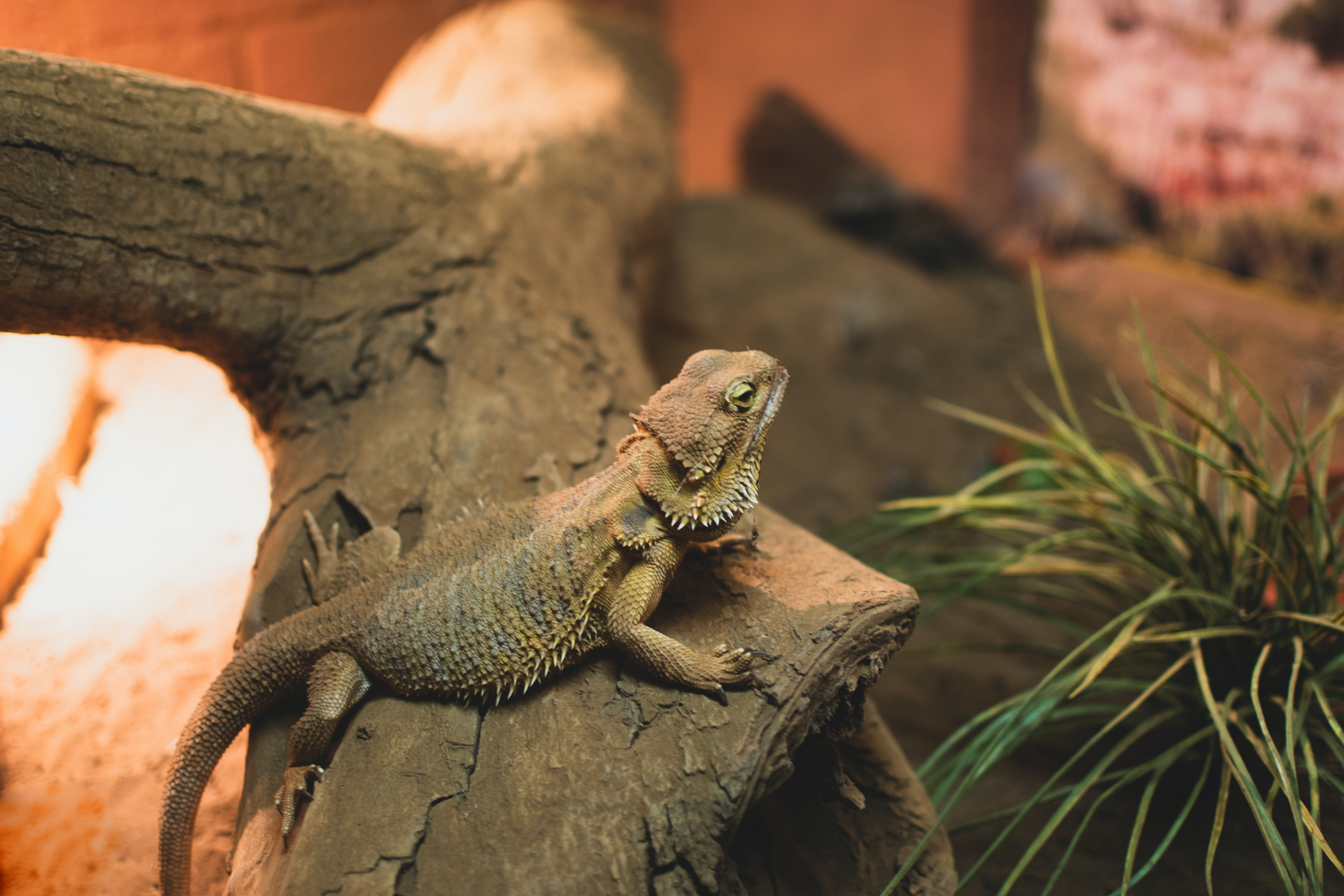 Bearded dragon lizard on a rough branch surrounded by plants, wood and rocks