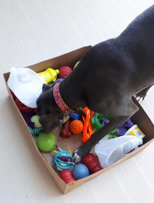 Great Dane with her head down and front feet in an open-topped, large cardboard box filled with various dog toys and recyclable items.
