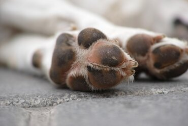 Dog paw pads of a short-haired dog lying on her side