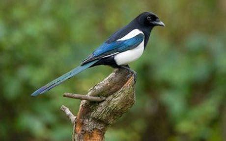 Magpie in British garden