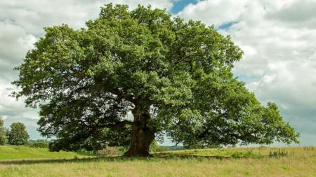 An english oak