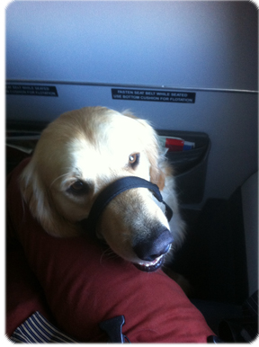 Service dog on the airplane