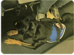 On board the airplane with service dog